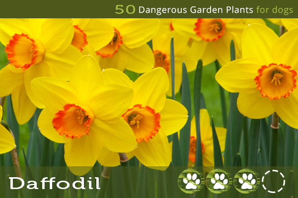 Dangerous Flowers for Dogs - Daffodil