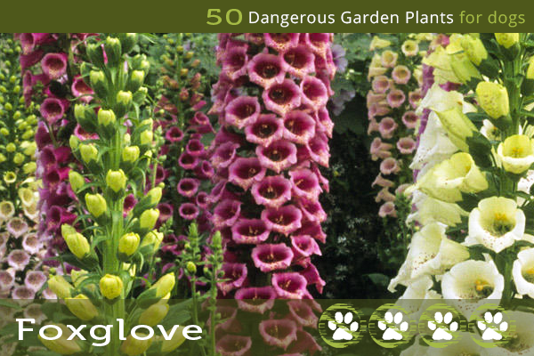 Dangerous Flowers for Dogs - Foxglove