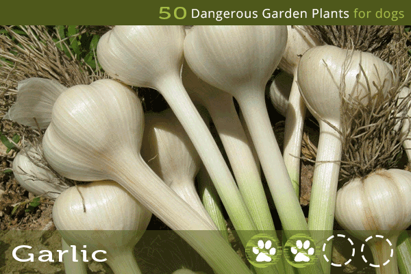 Garlic - Toxic Plants for Dogs