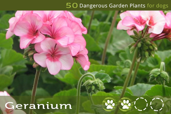 Dangerous Flowers for Dogs - Geranium