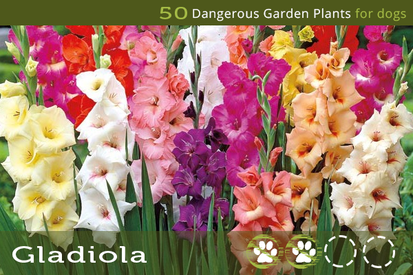 Gladiola - Dangerous Flowers for Dogs