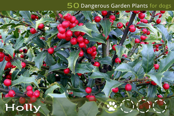 Holly - Toxic Plants for Dogs