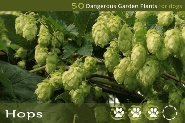 Hops - Dangerous Plants for Dogs