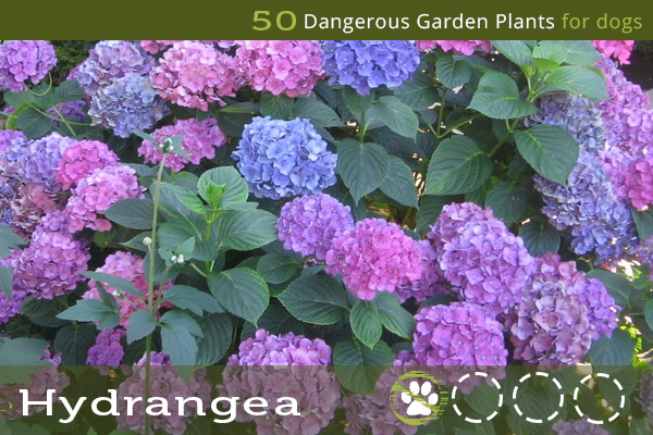 Hydrangea - Toxic Plants for Dogs