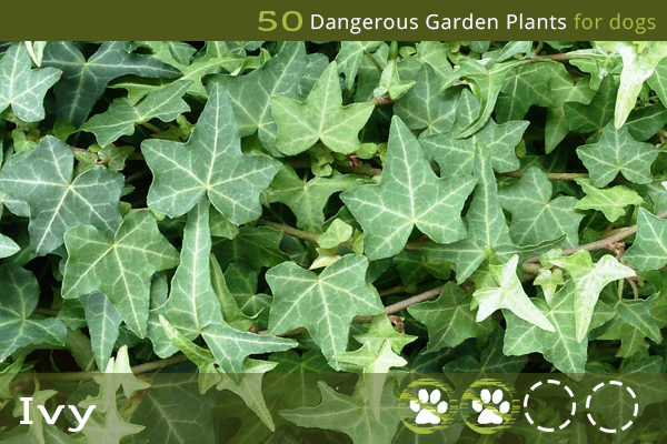 Ivy - Poisonous Garden Plants for Dogs