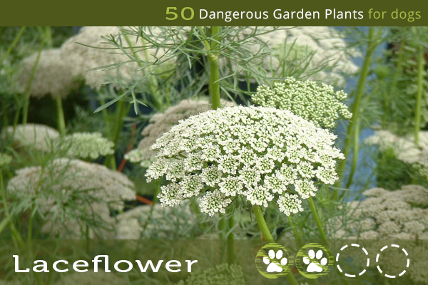 Laceflower - Dangerous Garden Plants for Dogs