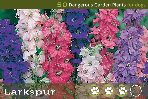Larkspur - Poisonous Plants for Dogs