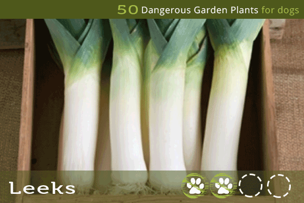Leeks - Dangerous Plants for Dogs