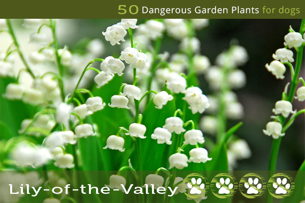 Lily of the Valley - Poisonous Plants for Dogs