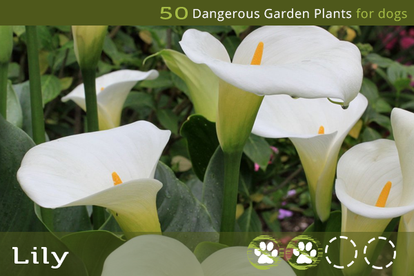 Lily - Poisonous Plants for Dogs