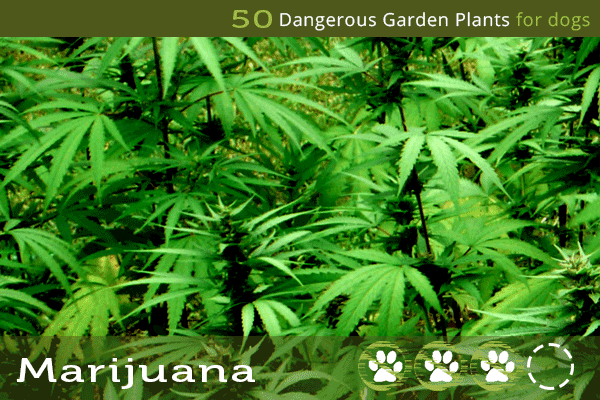 Marijuana - Toxic Plants to Dogs