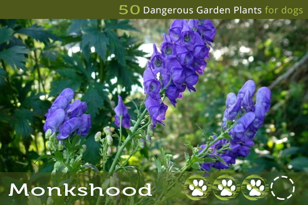 Monkshood - Poisonous Plants for Dogs