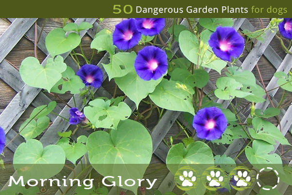 Morning Glory - Poisonous Plants for Dogs