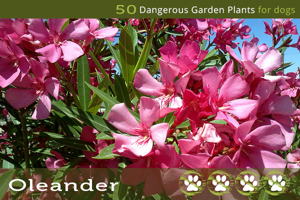 Oleander - Toxic Plants for Dogs