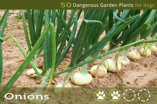 Onions - Toxic Plants to Dogs