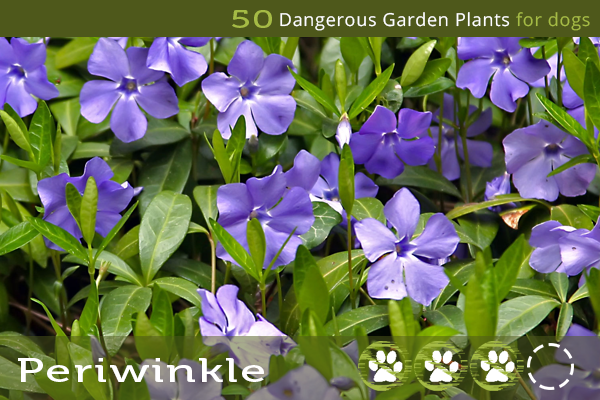 Periwinkle - Poisonous Garden Plants for Dogs