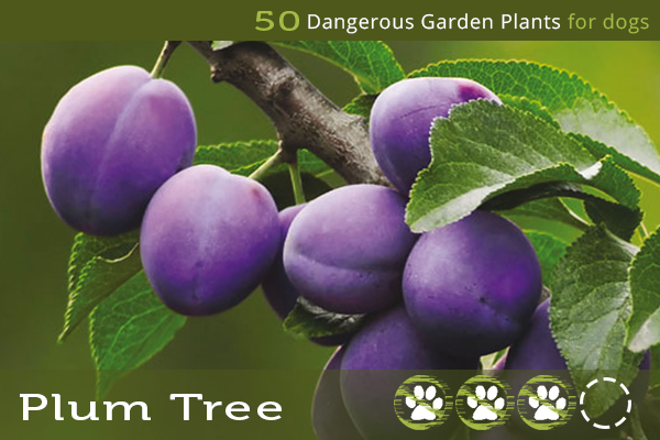 Plum Tree - Toxic Plants for Dogs
