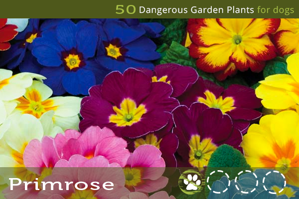 Primrose - Poisonous Garden Plants for Dogs