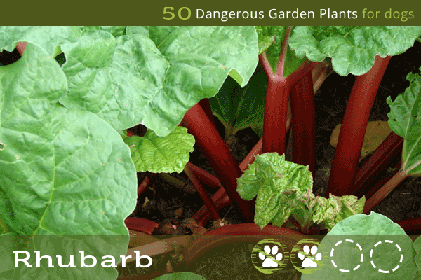 Rhubarb - Dangerous Plants for Dogs