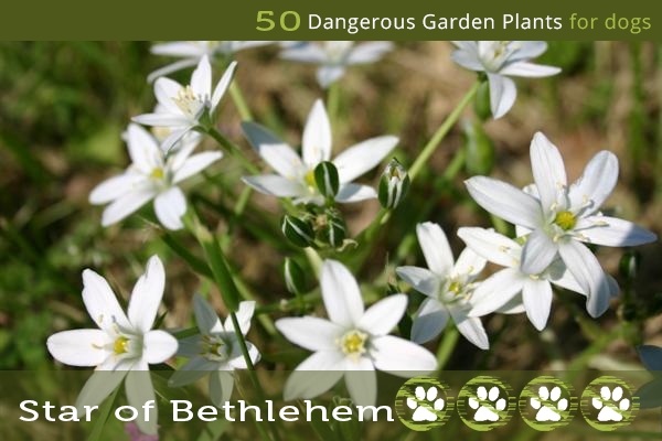 Star of Bethlehem - Poisonous Garden Plants for Dogs