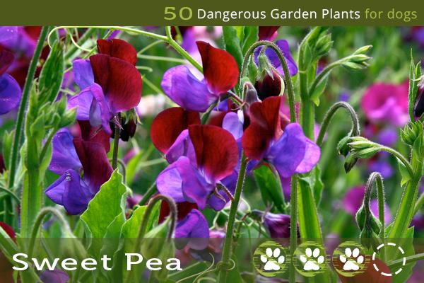 Sweet Pea - ASPCA Toxic Plants