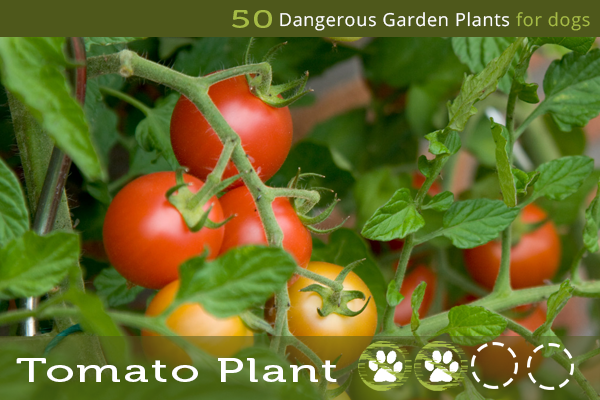 Tomato Plant - Dangerous Plants for Dogs