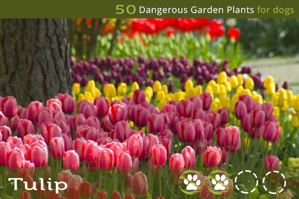 Tulip - Poisonous Garden Plants for Dogs