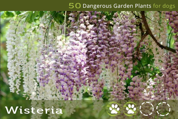 Wisteria - Dangerous Garden Flowers for Dogs