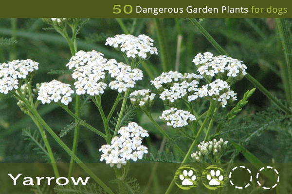 Yarrow - Poisonous Plants for Dogs