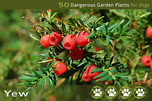 Yew - Toxic Plants for Dogs