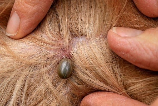 Check Your Dog Daily for Ticks