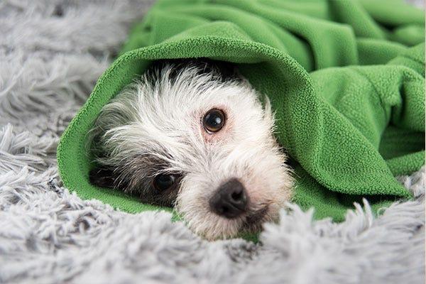 Dog in Blanket - Reduce Allergies