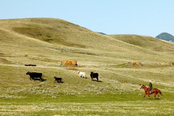 Wide open land with trotting horse and cows