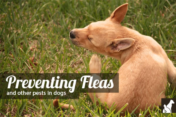 preventing fleas blog