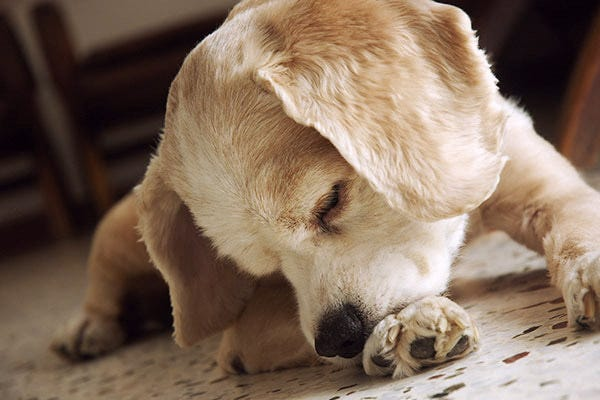 Stop dog from biting paws