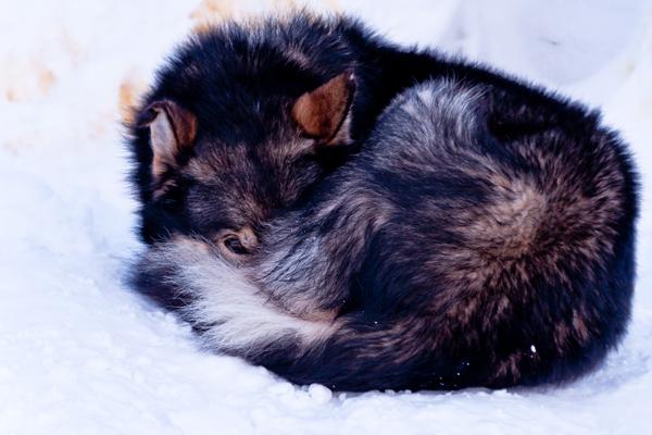 Cold Husky