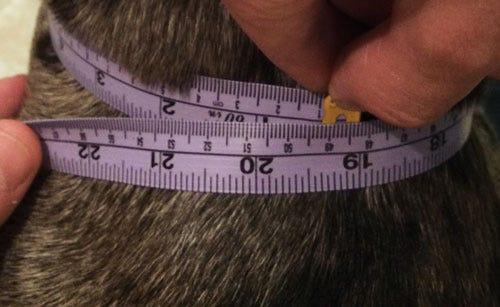 measuring-dog-neck