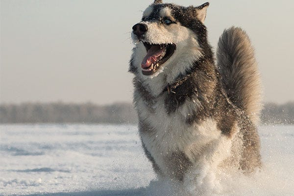 Husky playing in snow
