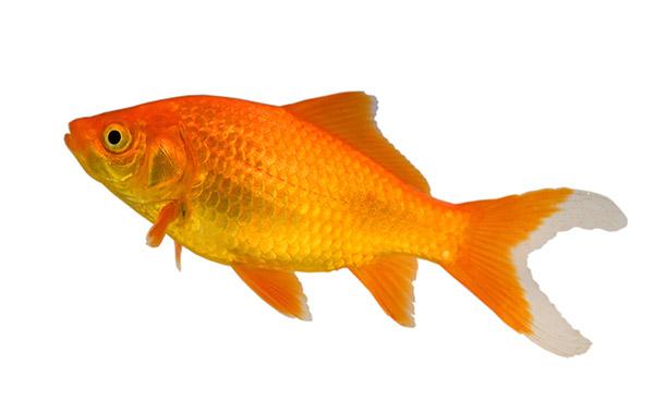 ... ponds as they reach a maximum ... Black And Orange Comet Goldfish