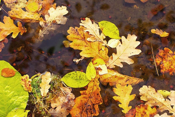 Leaves and debris in pond
