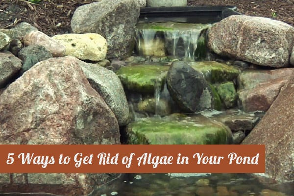 5 ways to eliminate pond algae for Koi pond algae