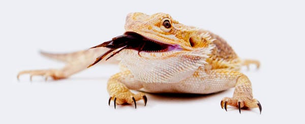 bearded dragon eating cricket